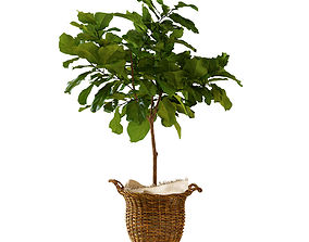 Ficus lyrata in basket 3D