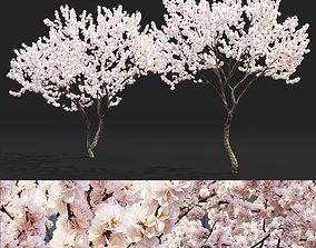 3D Malus flowering 04