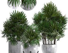 Rhapis palms 3D