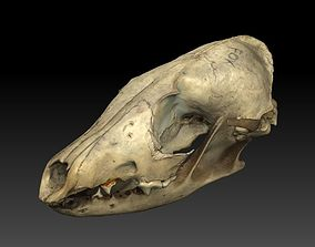 3D Fox Skull with Jaw Scan