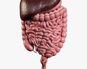 Digestive System 3D asset