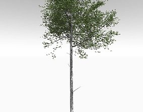 Tall Mature Quaking Aspen - Variation 2 3D model