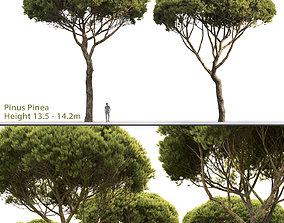 3D Pinus Pinea 03