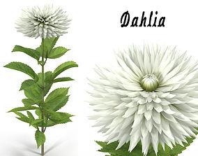 Dahlia white 3D