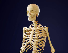 3D asset Skeleton - Human