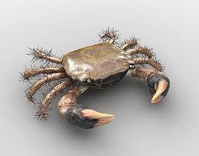 Hemigrapsus penicillatus Crab 3D asset VR / AR ready
