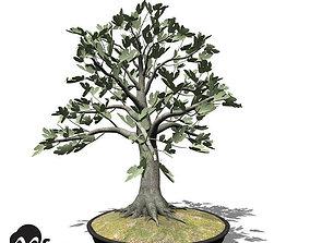 3D XfrogPlants Fig - Bonsai