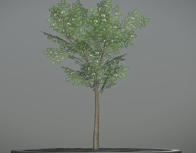 Rowan Tree - Sorbus-Aucuparia - 4m - Spring 3D asset