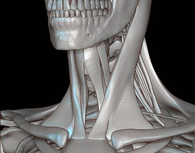 Human skeleton cranium 3D model