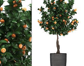 3D model Mandarin Tree with Fruit 2