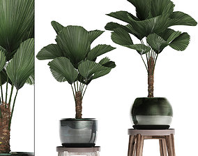 Licuala palm in a pot 453 3D model