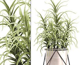 3D Aloe arborescens