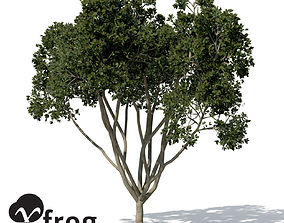 XfrogPlants Weeping Fig 3D model