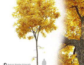 Autumn Ulmus parvifolia dynasty- Dynasty chinese elm 3D