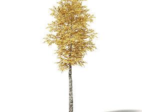 Silver Birch 3D Model 7m