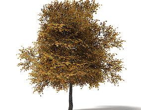 Field Maple 3D Model 6m