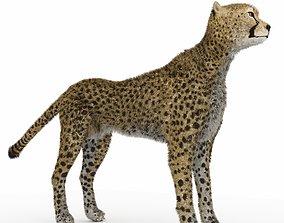 Cheetah 3D model carnivore