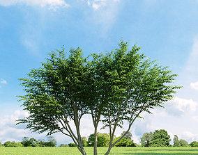 3D model Caragana arborescens 009 v1 AM136