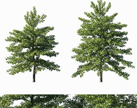 3D model Quercus palustris tree