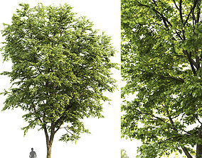Tilia platyphyllos 05 H14m 3D bark