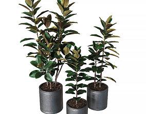 Ficus elastica Collection of plants 3D