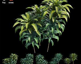 Dracaena Corn Plant set 05 3D