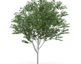 Common Ash Fraxinus excelsior 13m 3D model