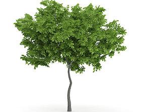 Wild Service Tree Sorbus torminalis 3m 3D model