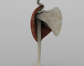 Shoulder Joint With Texture 3D model