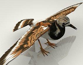Sandpiper Ruddy Turnstone Bird 3D asset