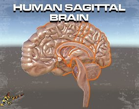 Human Sagittal Brain 3D model animated