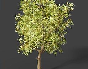 Sycamore Deciduous Tree 3D model
