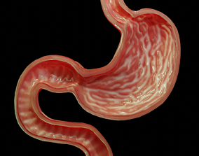 3D model Stomach cross sectional anatomy
