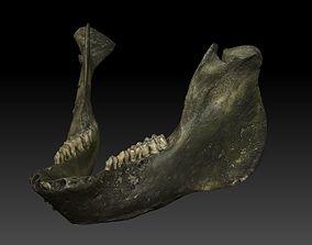 Pig Jaw Bone And Teeth Scan 3D model
