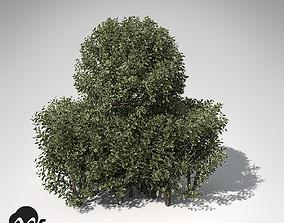 3D model XfrogPlants Golden-leaved Boxwood