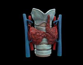 Thyroid gland 3D model