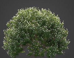 2021 PBR Backhousia Myrtifolia Collection 3D model