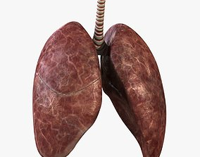 3D model male Rigged Lungs