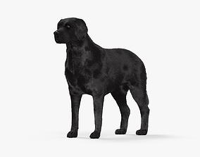3D model Labrador Retriever Black HD