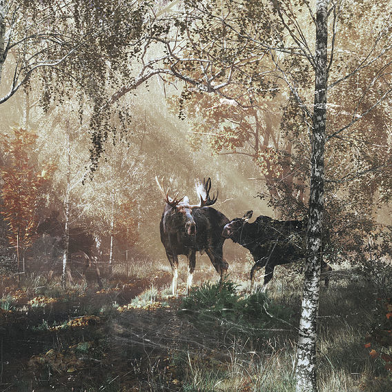 moose in autumn forest