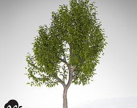 XfrogPlants Oregon Ash 3D model