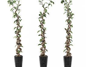 3D model Ficus Tree