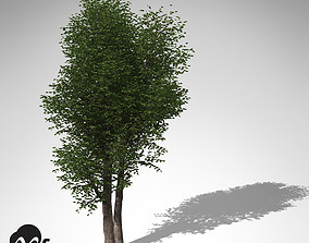 3D model XfrogPlants Laurel