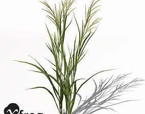 XfrogPlants Rice 3D model