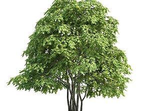 Tree Staphylea Pinnata 3D