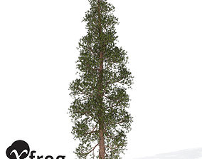 XfrogPlants Ponderosa Pine 3D model