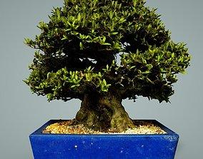 bonsai 3D model game-ready Bonsai Tree