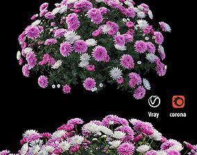 Chrysanthemum flower Plant set 07 3D model