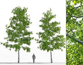 3D model Birch trees