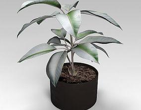 3D model Pipal ficus plant